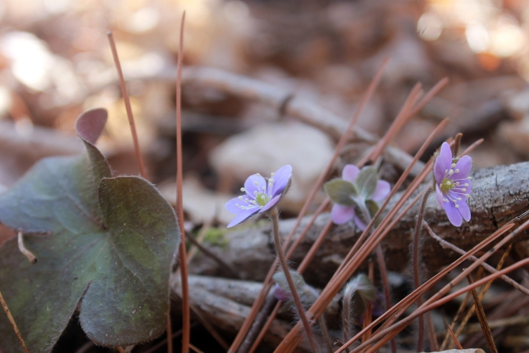 three hepaticas / rejoicing hills