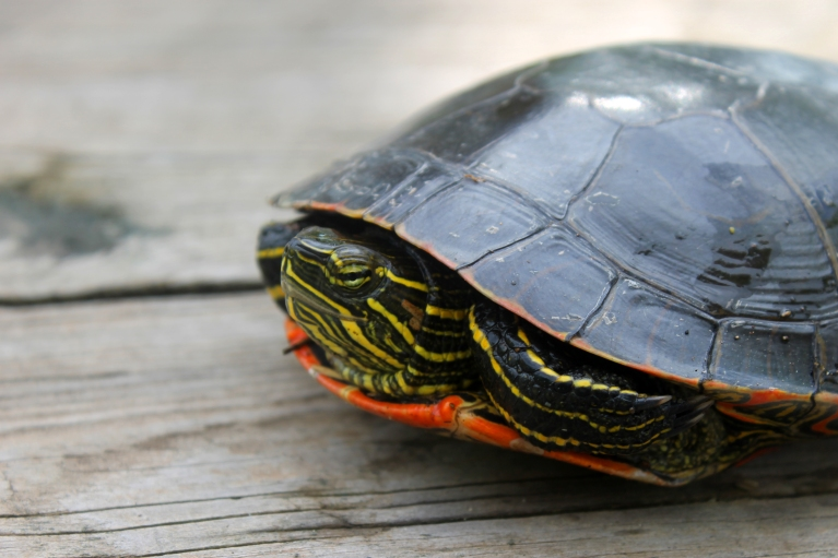 painted turtle / rejoicing hills