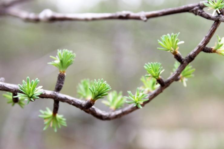 budding tamarack tree / rejoicing hills