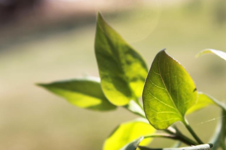 lilac leaves / rejoicing hills