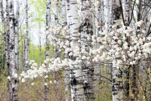 white poplars and blossoms / rejoicing hills