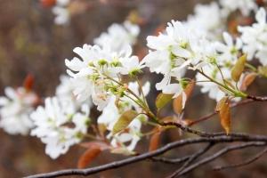 white blossoms / rejoicing hills