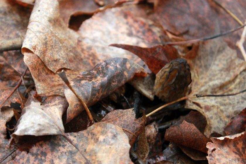 morel mushroom / rejoicing hills
