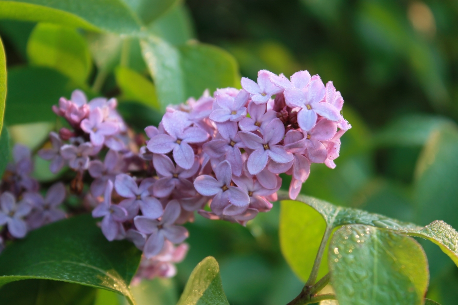 lilacs / rejoicing hills