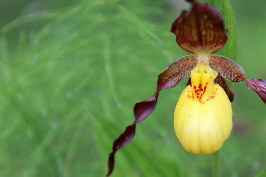 yellow lady slipper / rejoicing hills