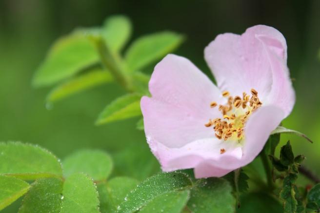 wild rose / rejoicing hills