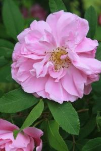pink rose / rejoicing hills