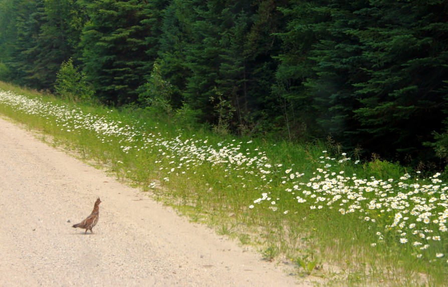 grouse with daisies / rejoicing hills