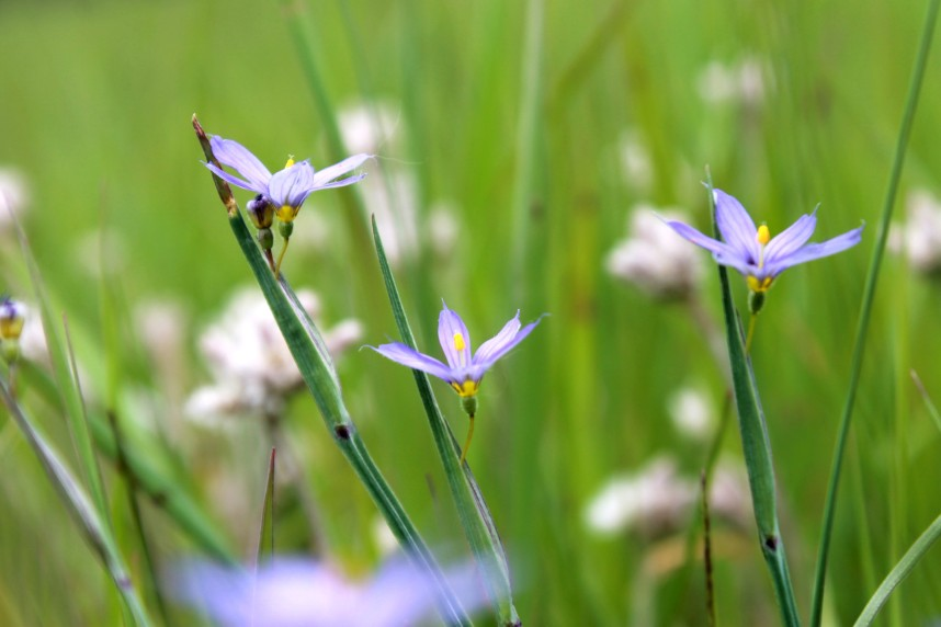 blue eyed grass / rejoicing hills