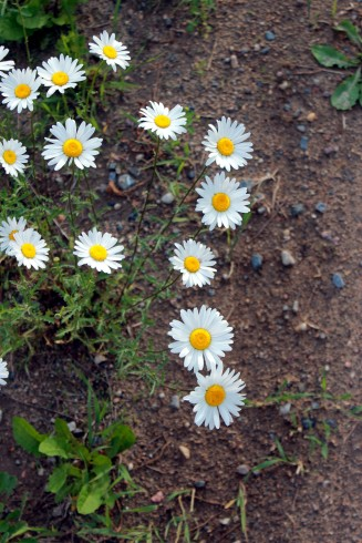 roadside daisies / rejoicing hills