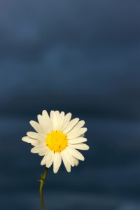 daisy after storm / rejoicing hills