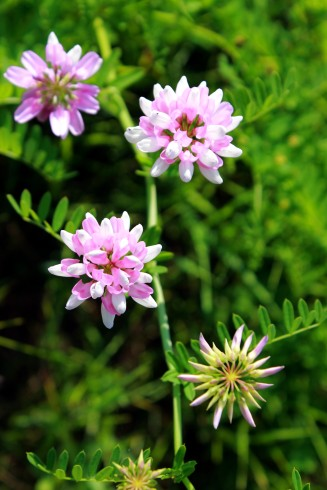 crown vetch / rejoicing hills