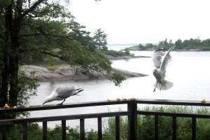 feeding seagulls / rejoicing hills