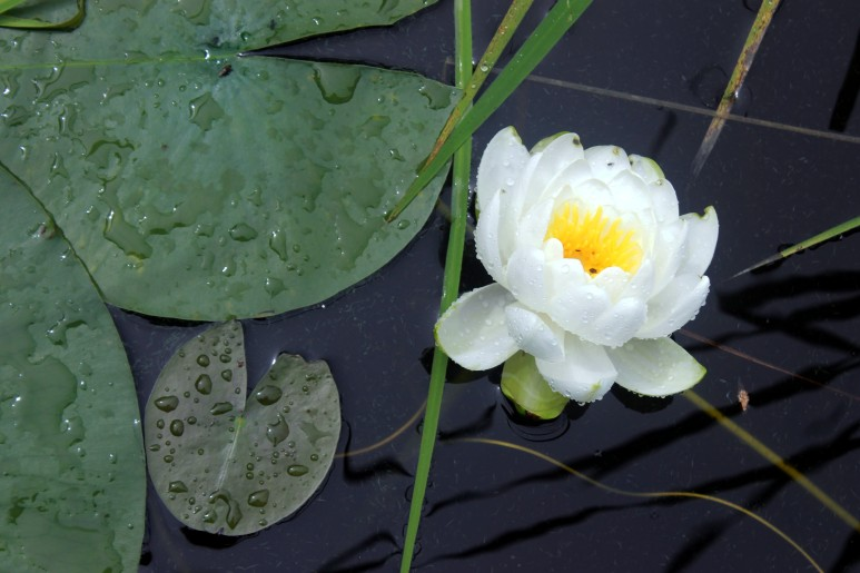 water lily / rejoicing hills