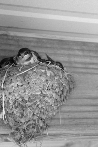baby swallows in nest / rejoicing hills