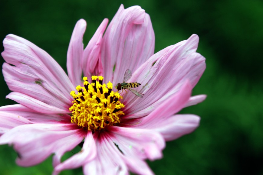 tiny bee on cosmos / rejoicing hills