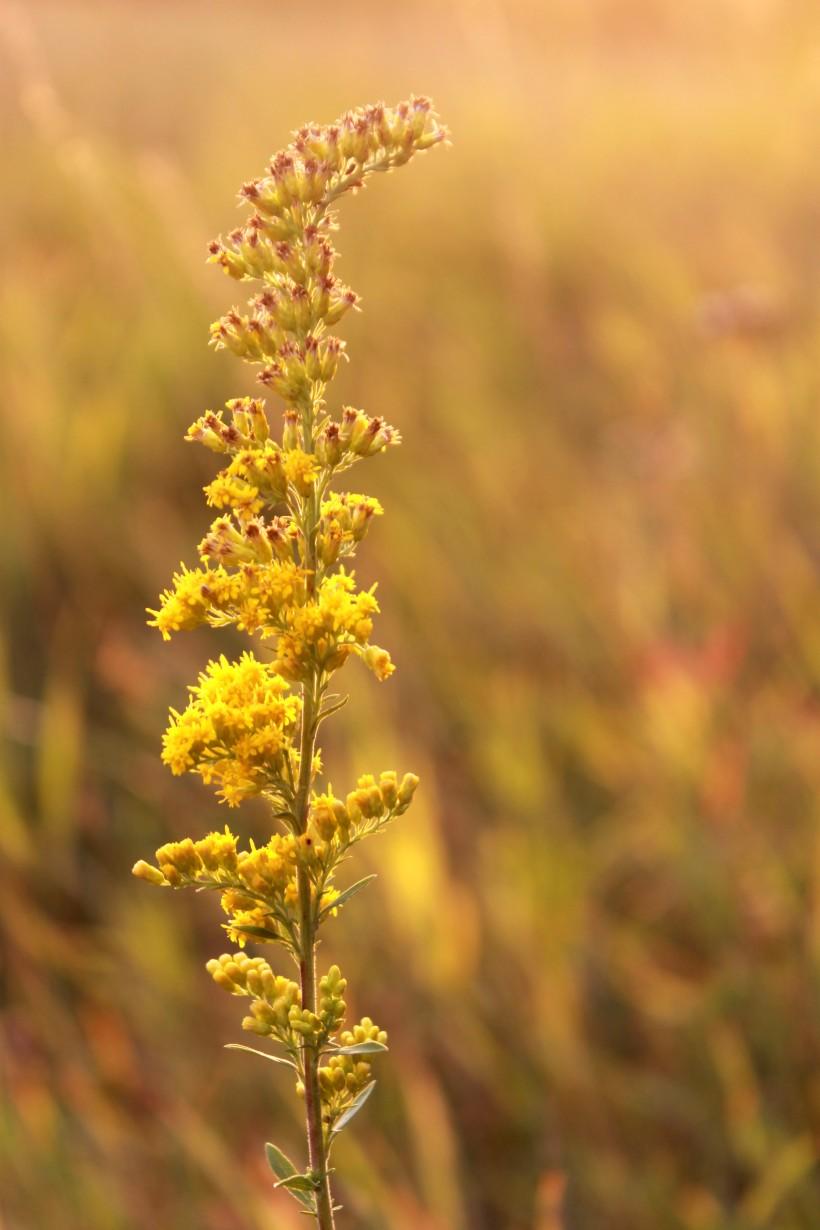 goldenrod / rejoicing hills
