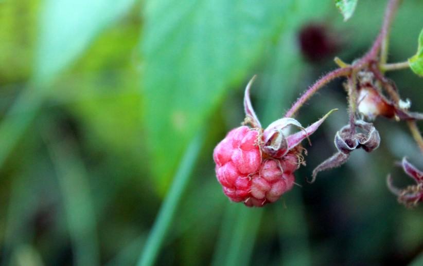 wild raspberry / rejoicing hills