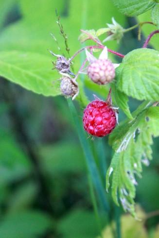 wild raspberries / rejoicing hills