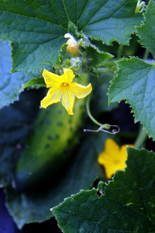 cucumber flower / rejoicing hills
