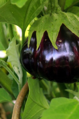 eggplant / rejoicing hills