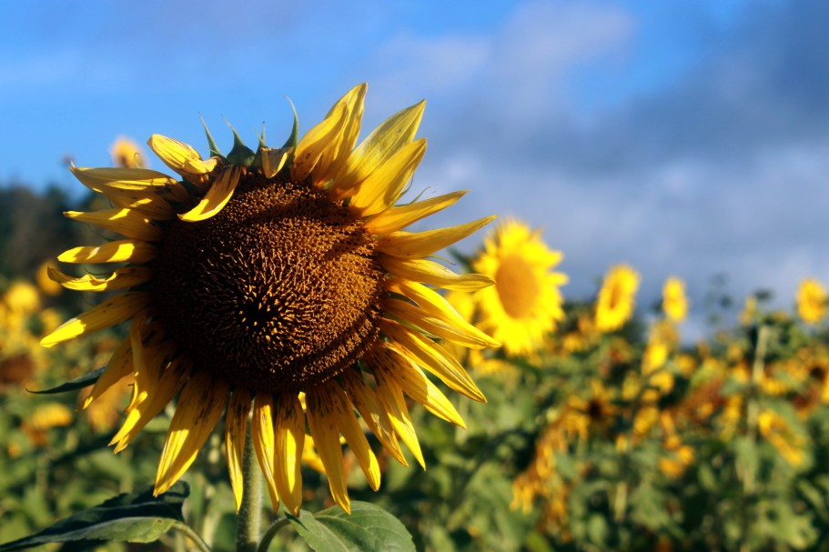 sunflower field / rejoicing hills