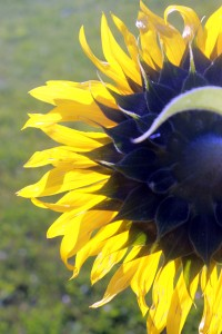 sunflower from behind / rejoicing hills
