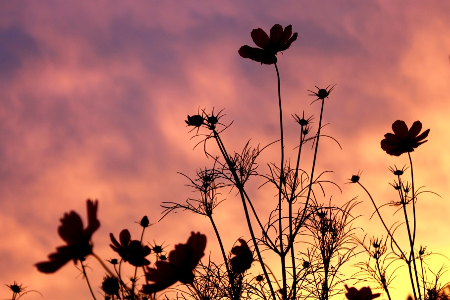 cosmos at sunset / rejoicing hills