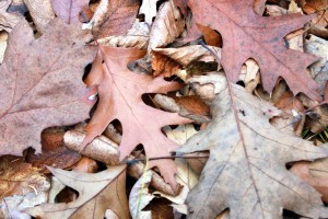 brown oak leaves / rejoicing hills