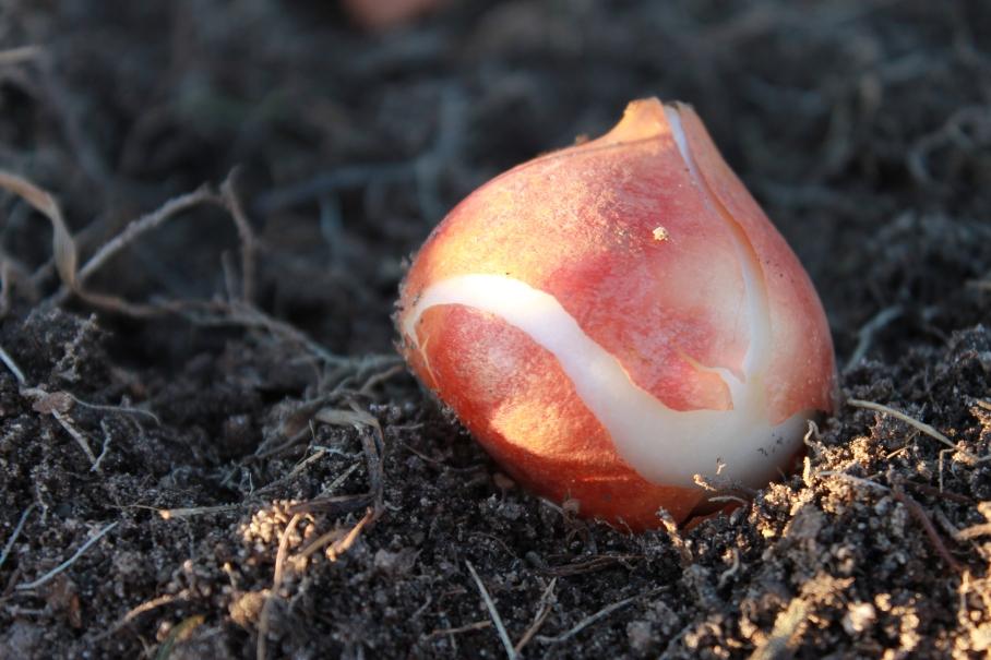 tulip bulb / rejoicing hills