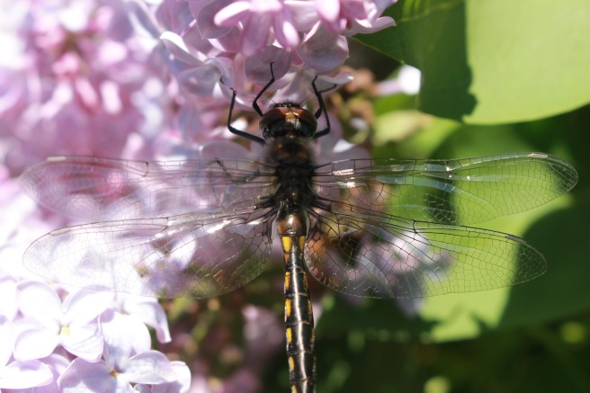 dragonfly on lilac